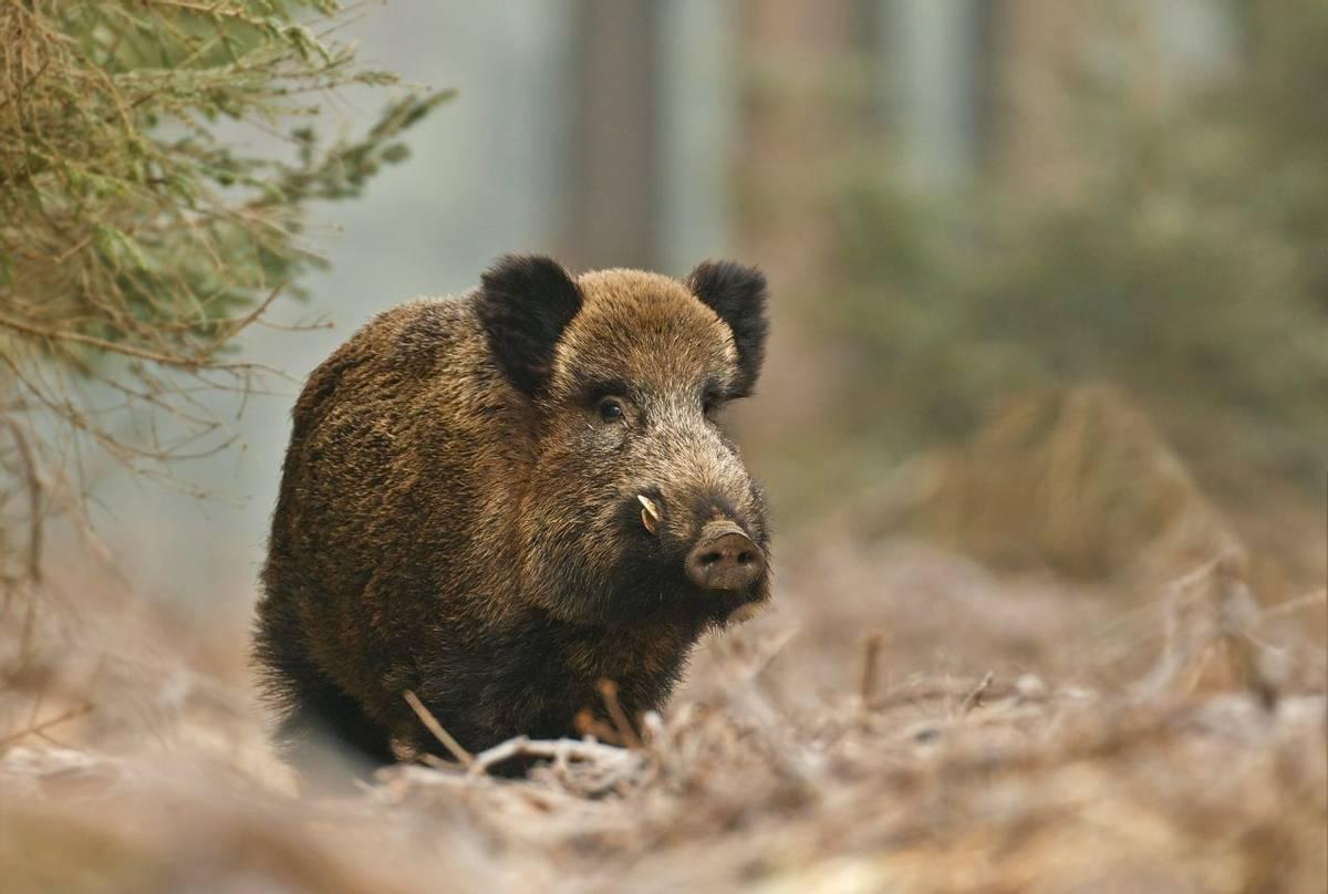 Wild Boar.