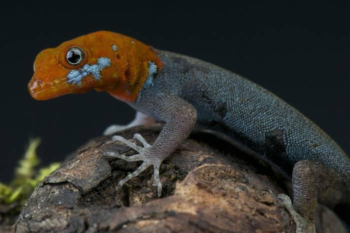 Yellow Headed Gecko (Gonatodes albogularis)