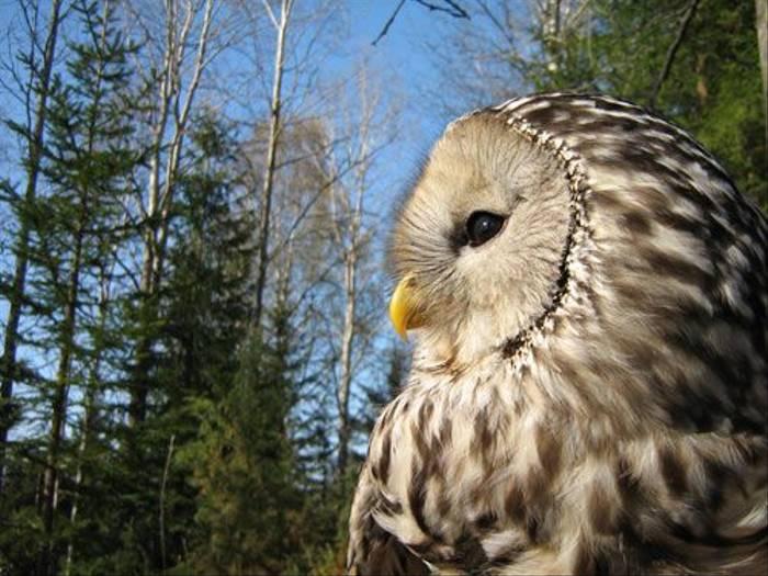 Ural Owl (Daniel Green)