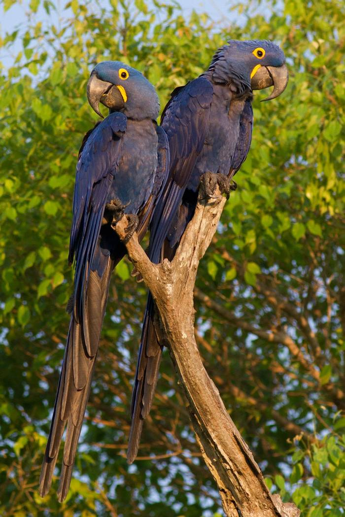 Hyacinth Macaws (Tom Ambrose)
