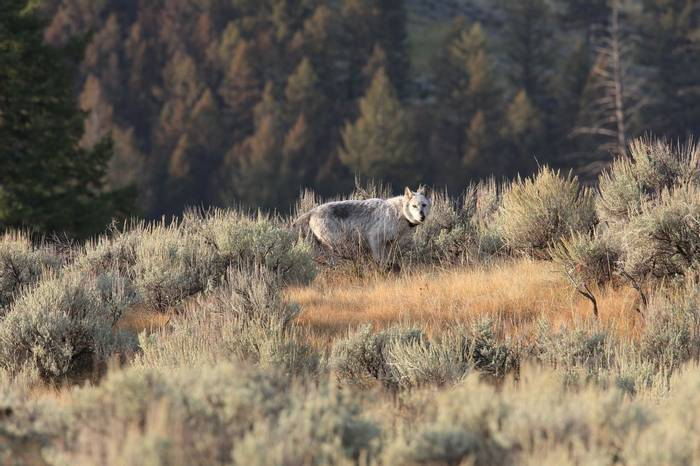 Grey Wolf, Yellowstone, USA Shutterstock 1058396879