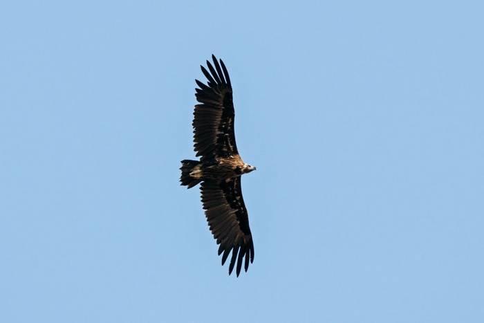 Cinereous Vulture, Spain shutterstock_1522261067.jpg