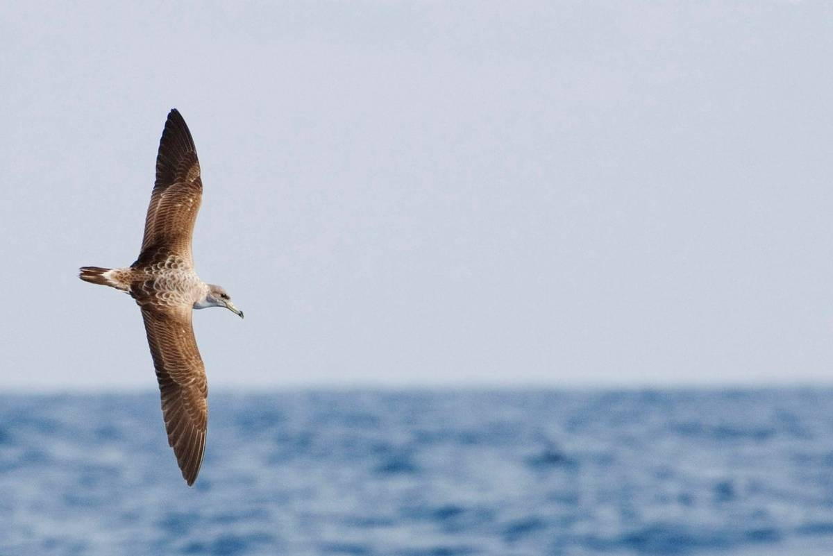 Cory's Shearwater, Calonectris borealis, in flight shutterstock_1151182802.jpg
