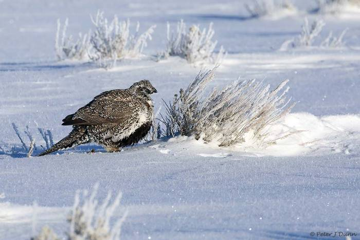 Sage grouse_(Peter Dunn)