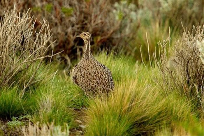 Patagonian Tinamou (David Allen)