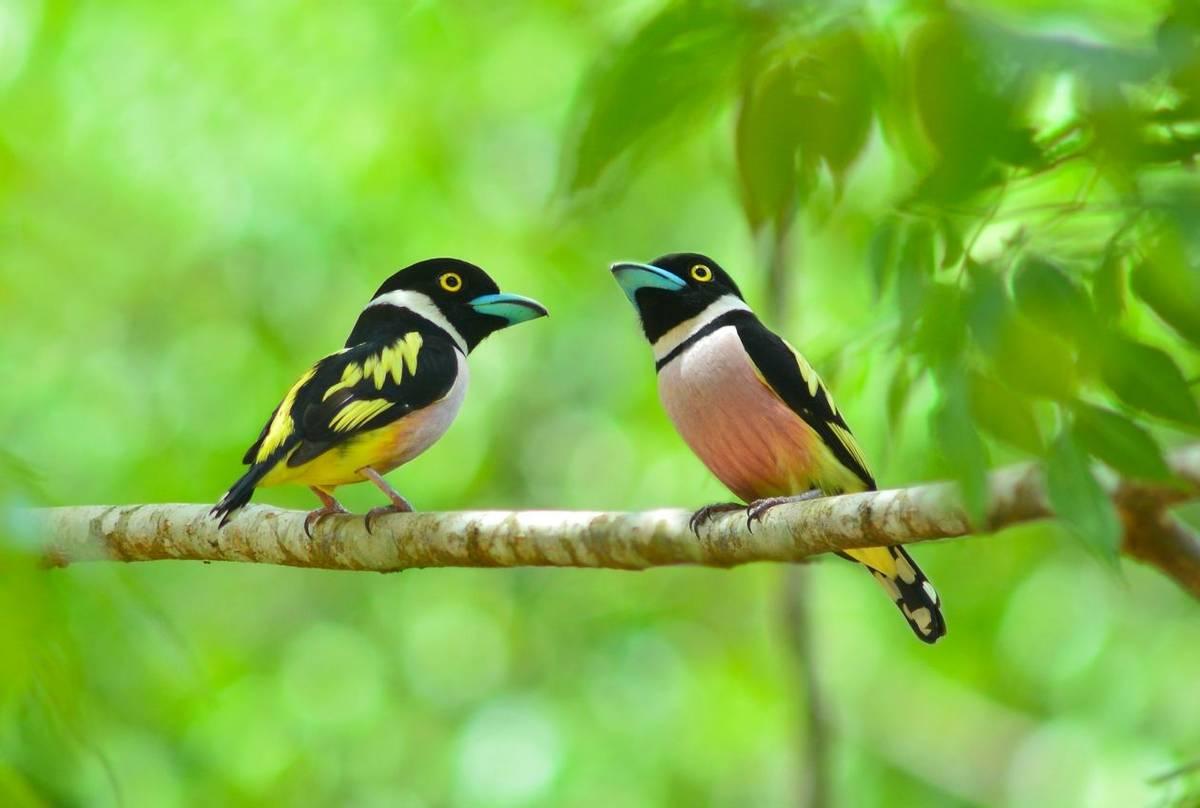 Black And Yellow Broadbill Shutterstock 192288560