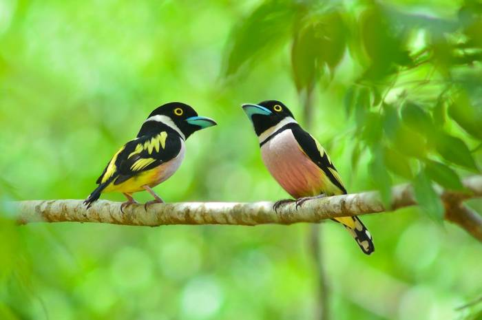 Black And Yellow Broadbill Shutterstock 192288560
