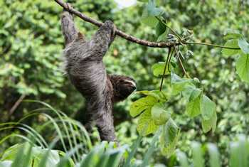 Three Toed Sloth Shutterstock 142138972