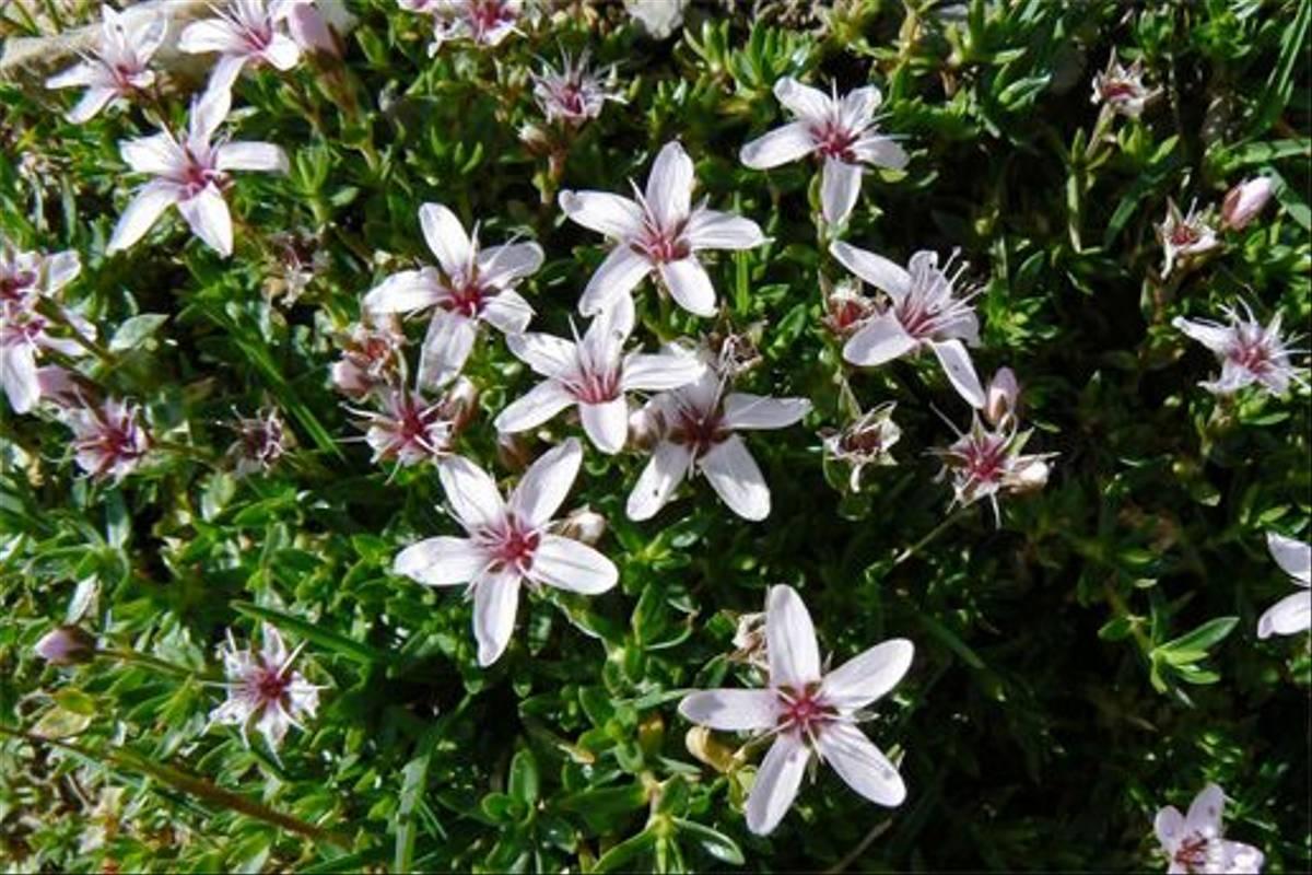 Purple Sandwort, Arenaria pururascens (Mark Galliott)