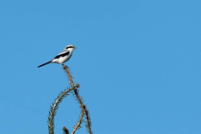 Great Grey Shrike shutterstock_1552757060.jpg