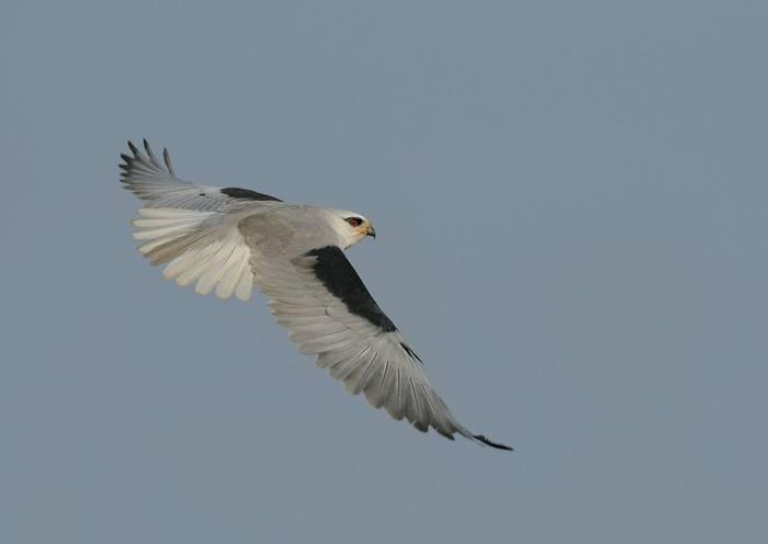 Black-shouldered Kite, Spain shutterstock_40319623.jpg