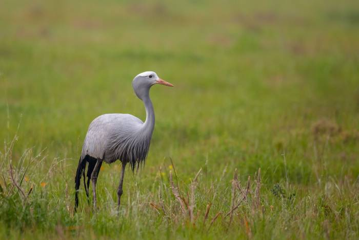 Blue Crane, South Africa shutterstock_495495082.jpg