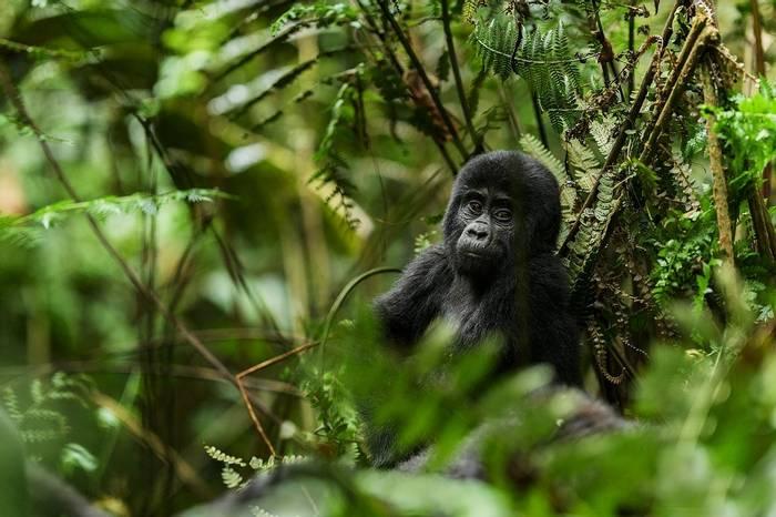 Gorilla Uganda Shutterstock 641903008