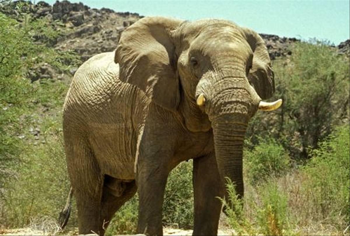 Desert adapted Elephant (Paul Stanbury)