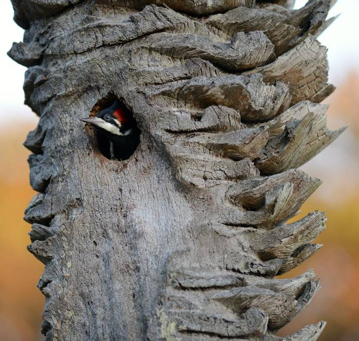 Crimson Crested Woodpecker (Stephen Woodham)