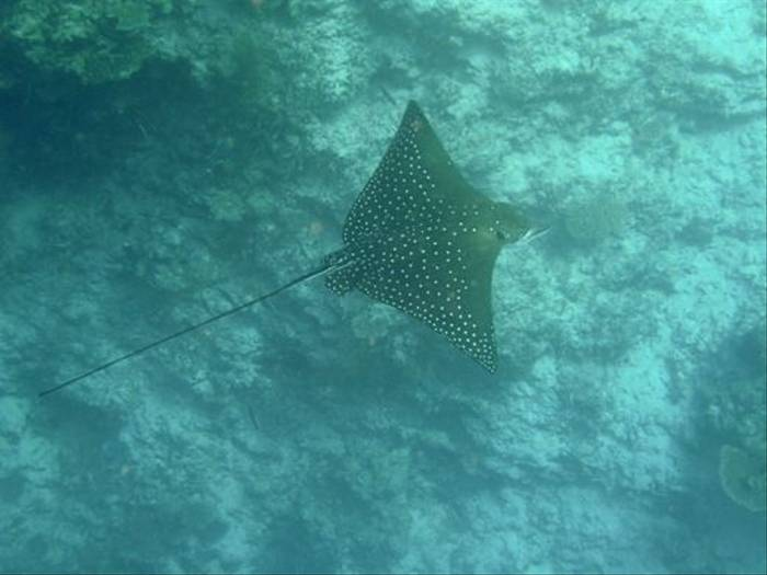 Eagle Ray (Brian W Jones)