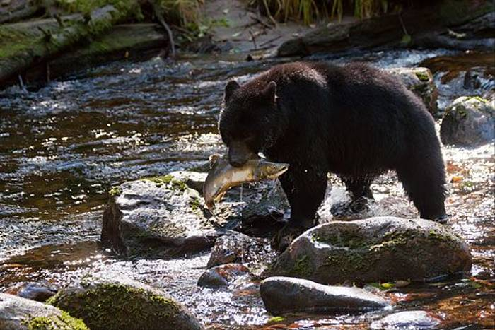 Black Bear by Paul Stanbury