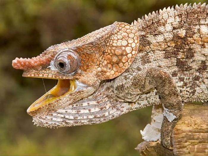 Short-horned Chameleon (Paul Stanbury)