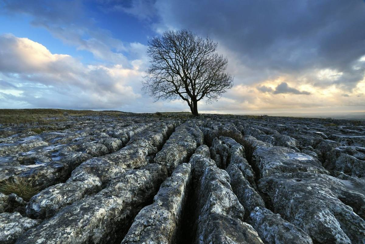 Malhamdale - Southern Yorkshire Dales - Tree on Limestone Paving - AdobeStock_21296238.jpeg