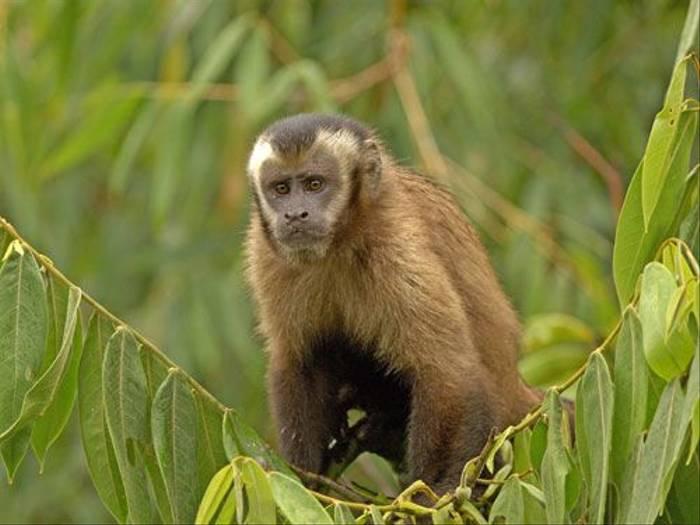 Brown Capuchin Monkey (Peter Price)