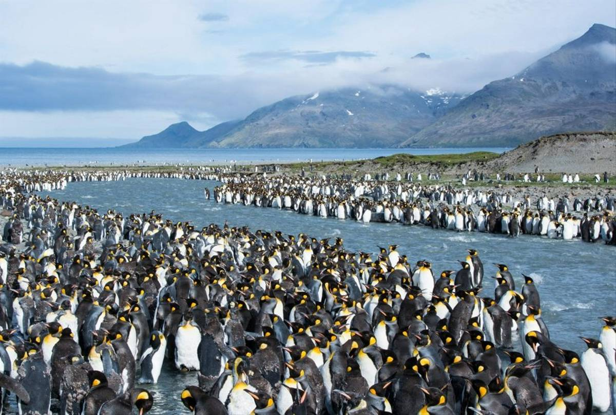 King Penguin Colony St. Andrew'S Bay   30 Jan 16   Barbara Evans