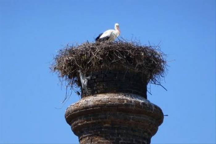 White Stork (Ken Hanks)