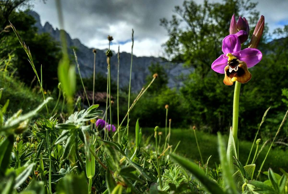 News in brief - Picos de Europa Sawfly Orchid.jpg