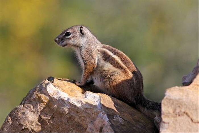 Barbary Ground Squirrel (Peter Dunn)