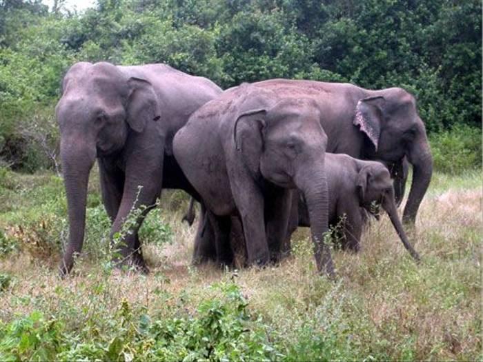 Elephants (Brian Goodey)