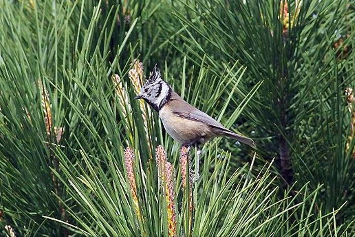 Crested Tit (Peter Dunn)