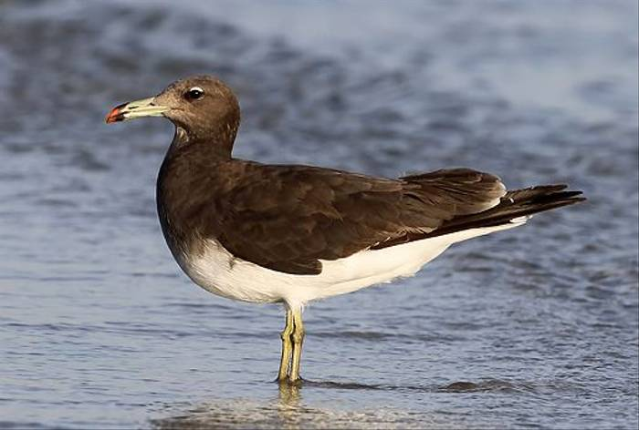 Sooty Gull (Chris-Ward)