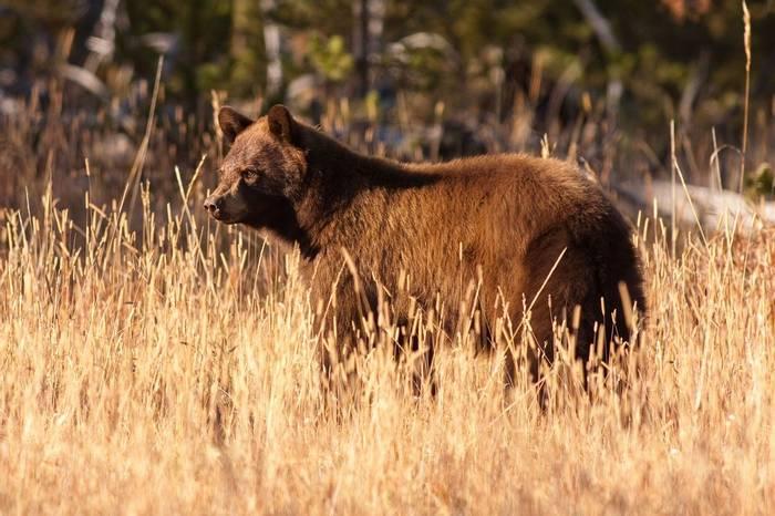 Grizzly Bear, Yellowstone, USA Shutterstock 507689344