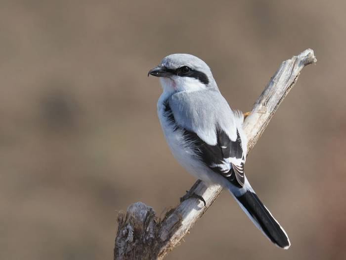 Great Grey Shrike Shutterstock 725426410