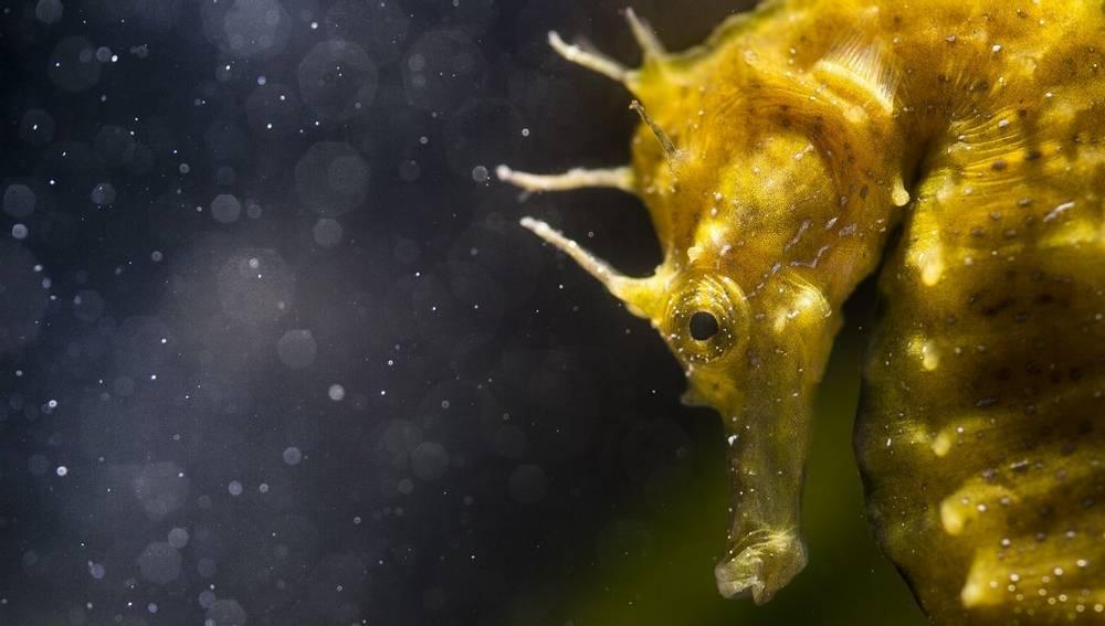 Spiny Seahorse, Wildlife Holidays