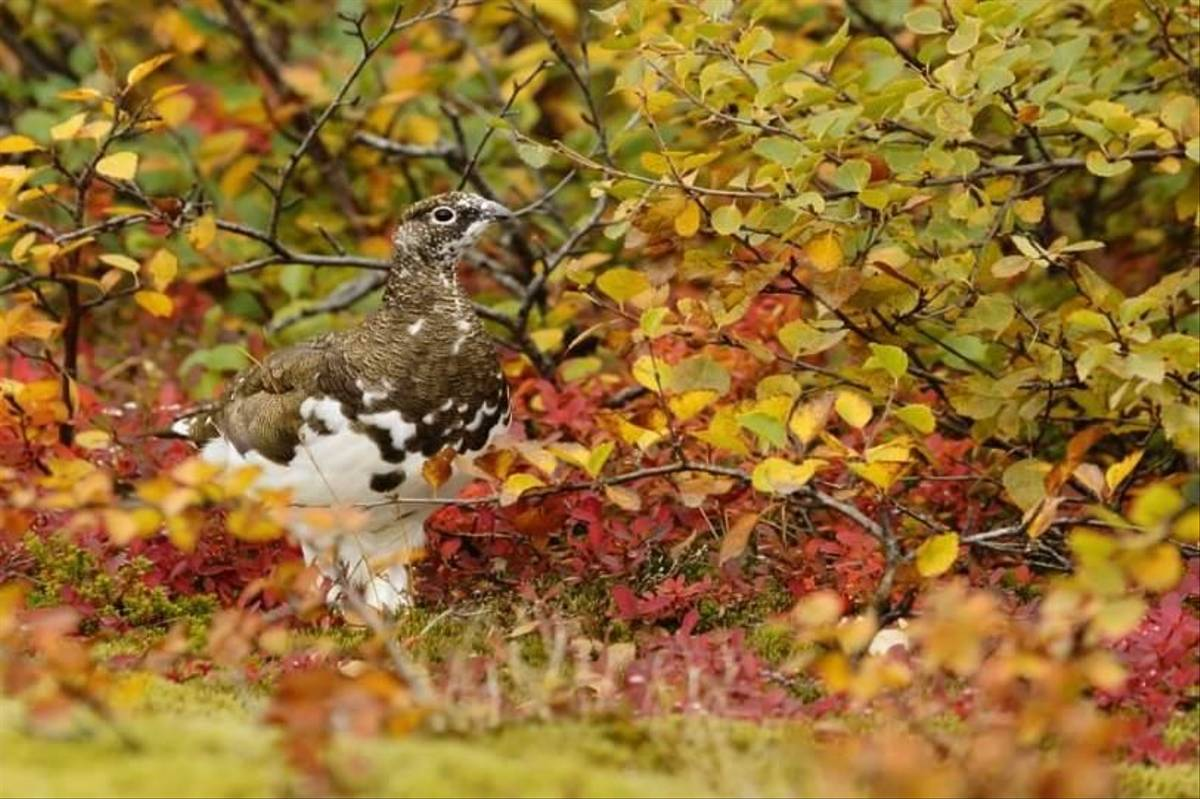 Rock Ptarmigan (Phil Piper)