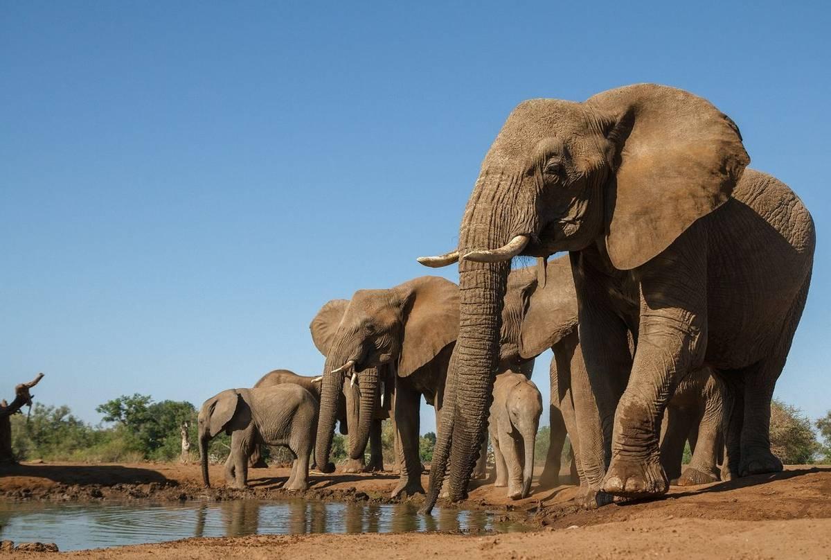 African elephants Botswana shutterstock_182835701.jpg
