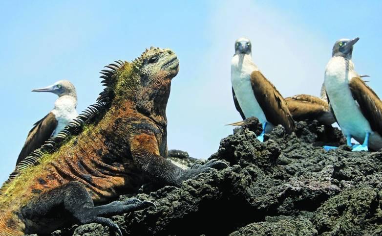 Marine iguana with blue footed boobies, booby, Sula nebouxii and Amblyrhynchus cristatus, on Isabela Island, Galapagos, Ecua…