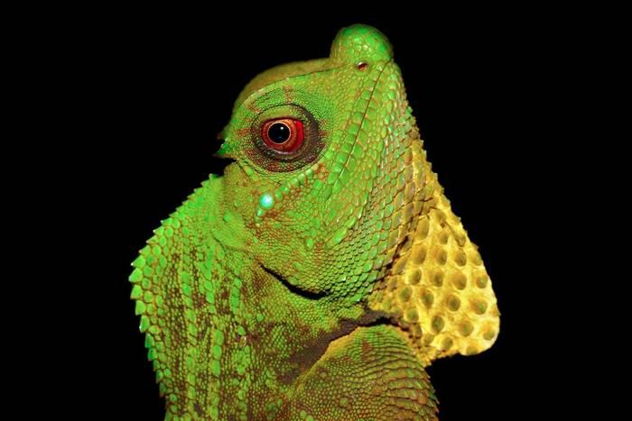 Hump Snout Lizard (Lyriocephalus scutatus), Sri Lanka
