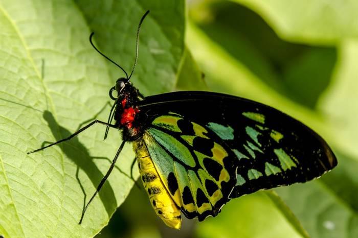 Goliath Birdwing Butterfly, Papua New Guinea shutterstock_253219204.jpg