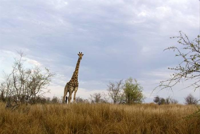 Giraffe (Leon Marais)