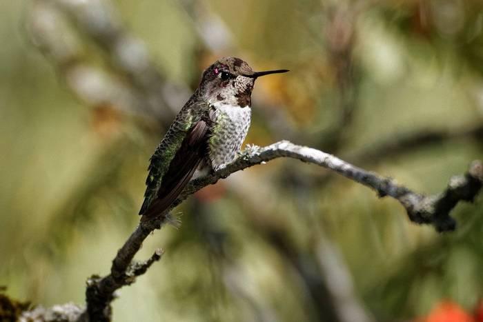 Annas Hummingbird (Martin Potter)