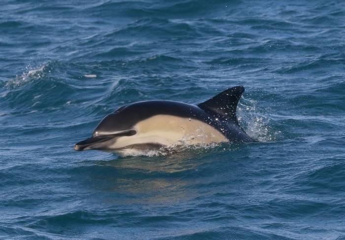 Common Dolphin_3_LR.jpg