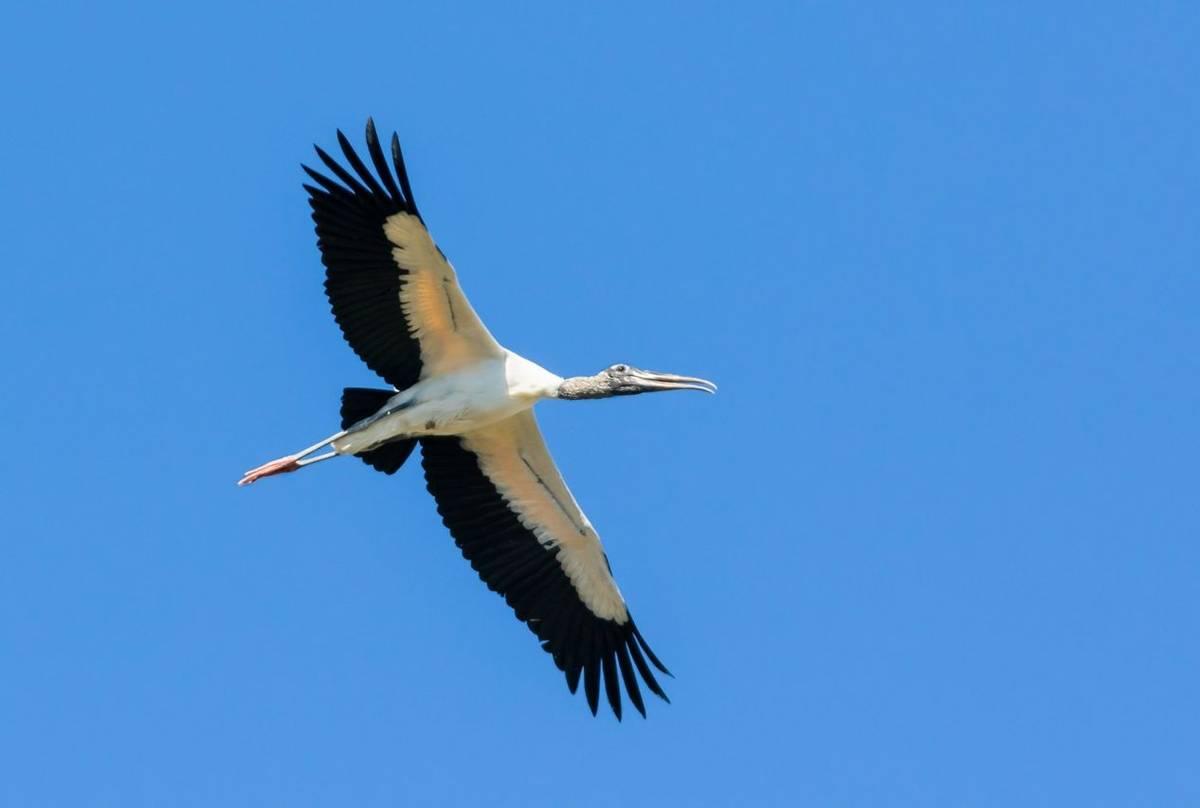 American Wood Stork Shutterstock 1215924301