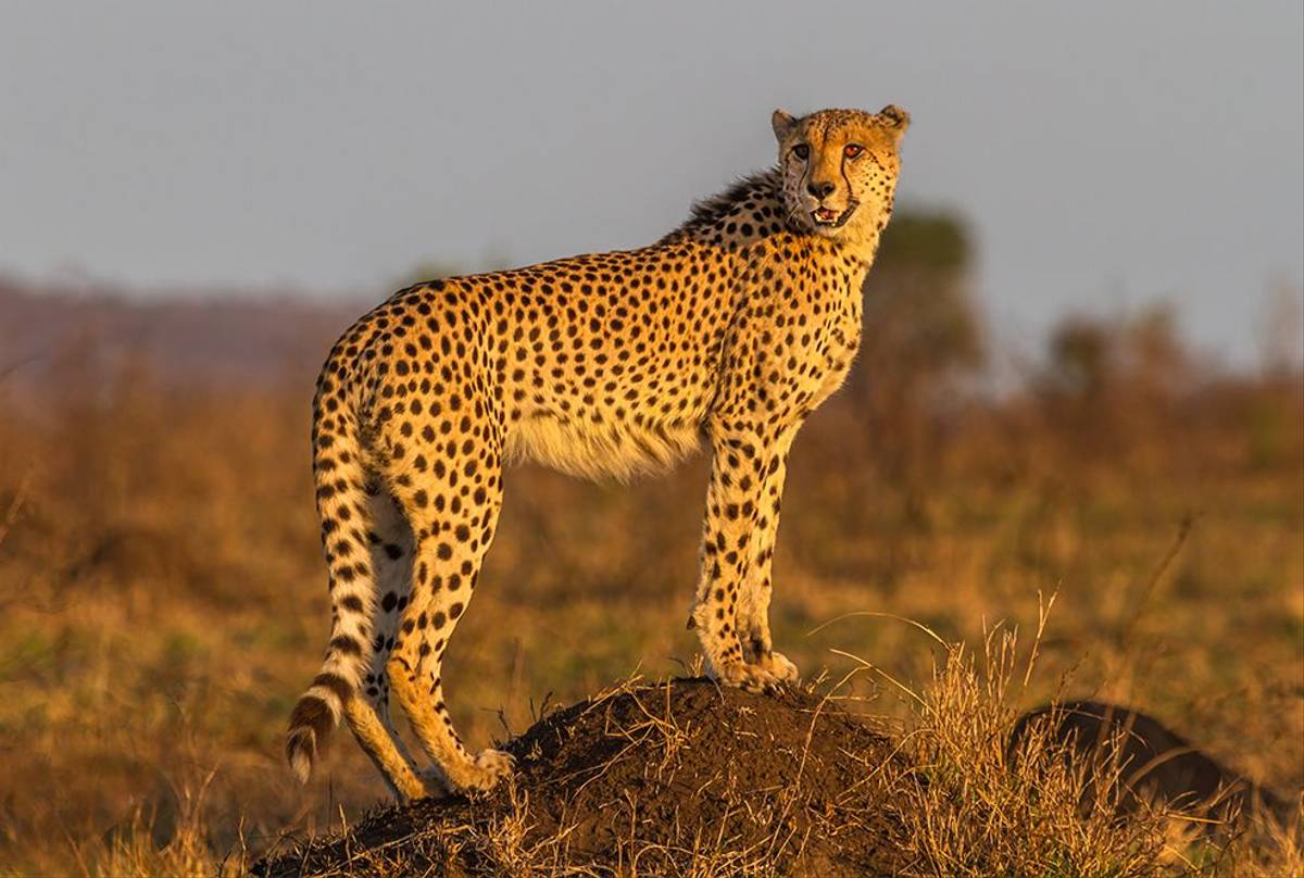 Cheetah, Kruger, South Africa Shutterstock 227350321