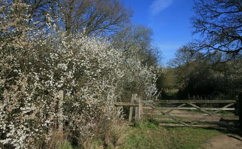 Blackthorn_flowering_Pulborough_Brooks.JPG