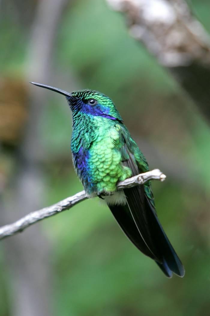 Green Violetear Hummingbird. shutterstock_37013893.jpg