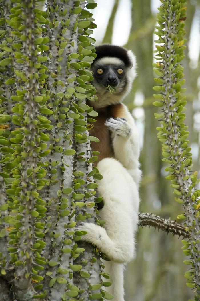 Verreaux's Sifaka, Madagascar shutterstock_760718311.jpg