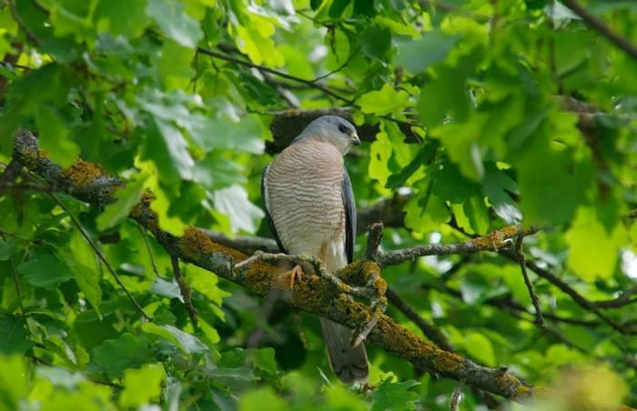 Levant Sparrowhawk, Montenegro shutterstock_722198053.jpg