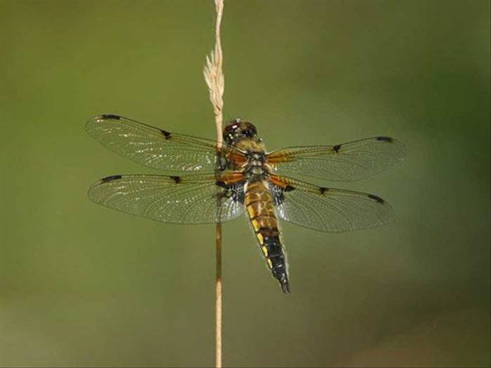 Four Spot Chaser (Glyn Sellors)
