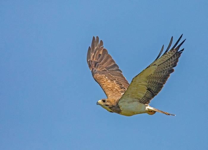 Swainson'S Hawk Shutterstock 1136284172